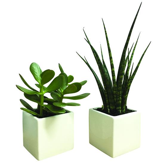 Jade Plant & Cylindrical Snake Plant